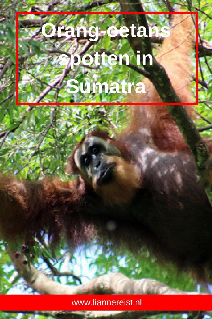 Orang-oetans spotten in Bukit Lawang, Sumatra, Indonesië