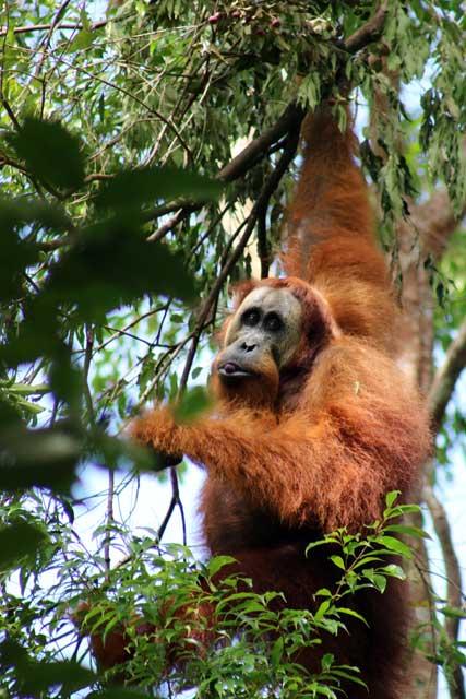 Orang-oetans in Bukit Lawang: mannelijke orang-oetan