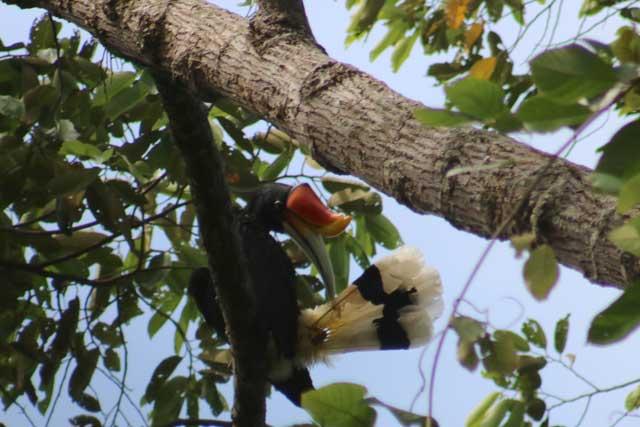 Orang-oetans in Bukit Lawang: een neushoorntoekan