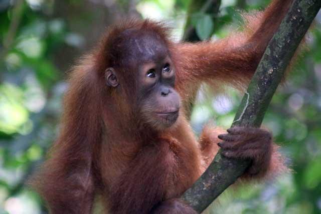 Orang-oetans in Bukit Lawang: een jonge orang-oetan