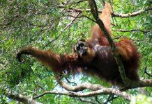 Orang-oetans in Bukit Lawang: wat een lange armen