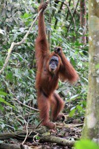 Orang-oetans in Bukit Lawang: moederaap