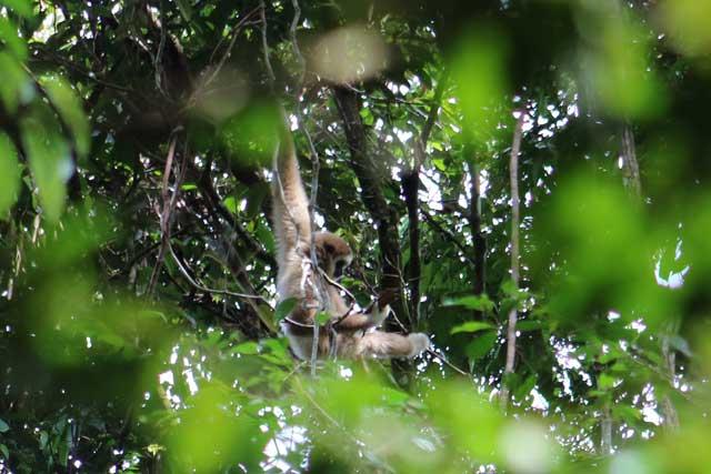 Orang-oetans in Bukit Lawang: een witte gibbon