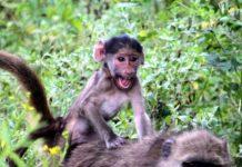 Tien populairste Instagram foto's na een jaar - Jong aapje speelt paardjerijden