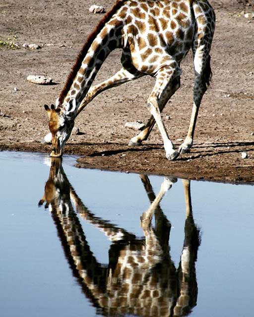 Tien populairste Instagram foto's na een jaar - Giraf met reflectie in Namibië
