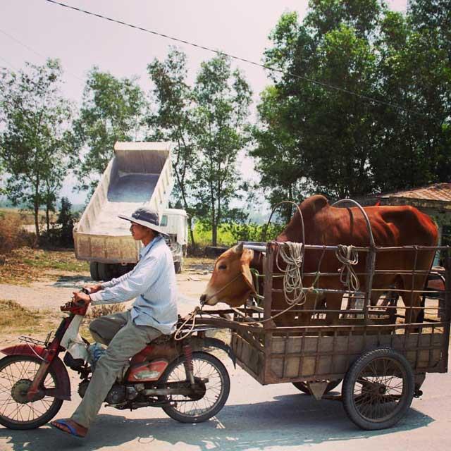 Mijn tien populairste Instagram foto's na een half jaar - nummer 6 koe in aanhangwagen achter brommer in Vietnam