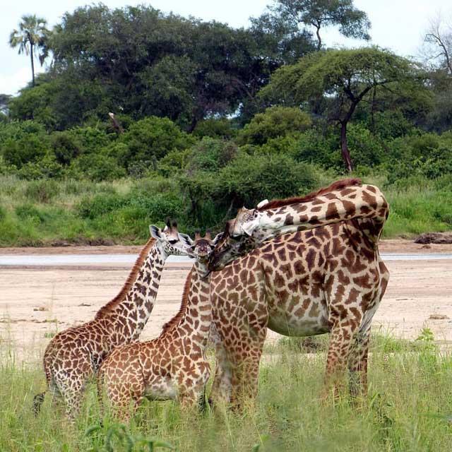 Mijn tien populairste Instagram foto's na een half jaar - nummer 4 giraf met twee jongen in Ruaha National Park in Tanzania