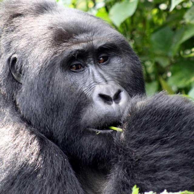 Mijn tien populairste Instagram foto's na een half jaar - nummer 5 silverback gorilla in Uganda