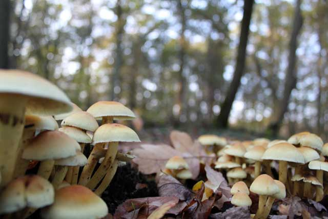 Herfstwandeling IJsselvallei - Cluster paddenstoelen