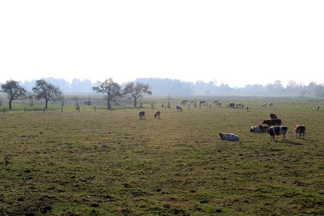 Herfstwandeling IJsselvallei - Koeien in weiland
