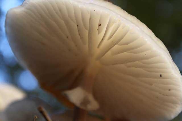 Herfstwandeling IJsselvallei - Onderkant witte paddenstoel