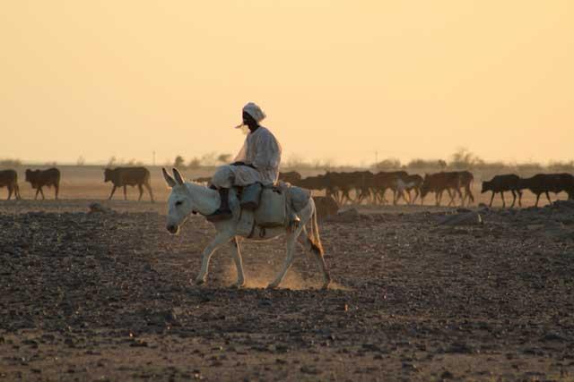Sudan in dertien portretten - Man op ezel met zijn kudde koeïen