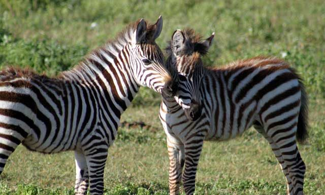 Serengeti en Ngorongoro in Tanzania - Jonge zebra's in de Ngorongoro-krater in Tanzania
