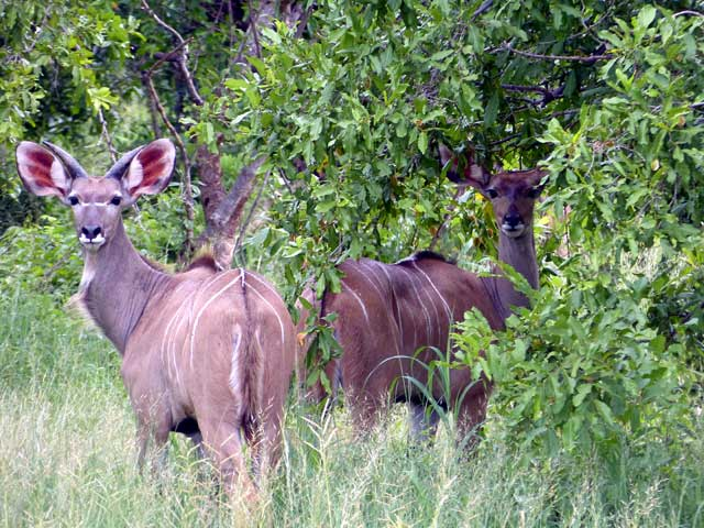 Serengeti en Ngorongoro in Tanzania - Koedoes in Ruaha National Park in Tanzania