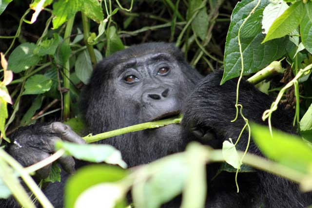 Gorilla vrouwtje in Uganda
