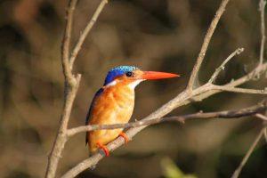 IJsvogel langs de Nijl in Jinja, Uganda