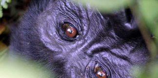 Bruine ogen van een berggorilla in Bwindi Impenetrable Forrest National Park in Uganda