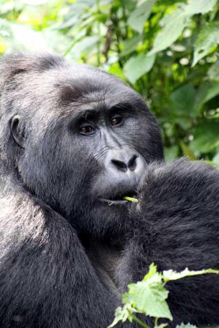 Silverback gorilla van de Mubare groep eet in Bwindi Impenetrable Forrest National Park in Uganda