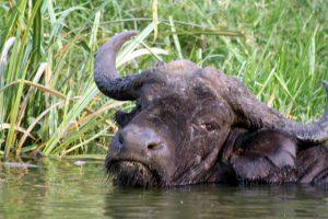 Waterbuffel in het water in Queen Elizabeth National Park in Uganda
