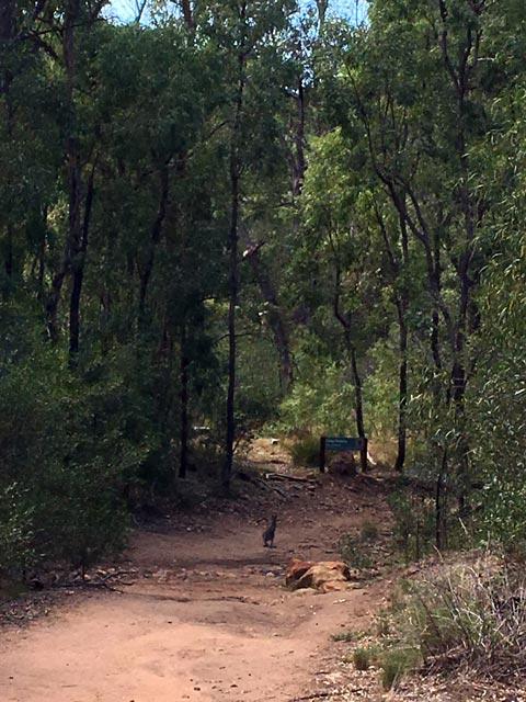 Breadknife en Grand High Tops wandeling in Warrumbungle Nationaal Park, New South Wales, Australië - Start van de Breadknife en Grand High Tops wandelroute