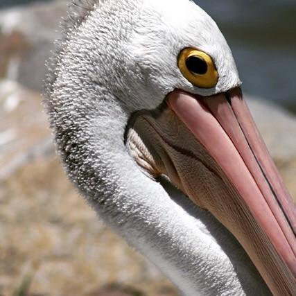 wereldreis: tien meest gelikete fotos instagram pelikaan australie